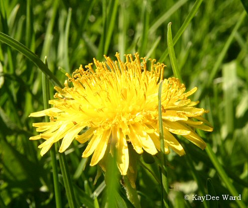 dandy lion flower how to grow